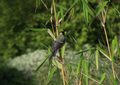 Lil'o bambous - Les fargesia attirent beaucoup les oiseaux