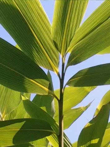 Lil'o bambous - Les grandes feuilles de Sasa palmata nebulosa