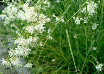Lil'o bambous - Luzula nivea