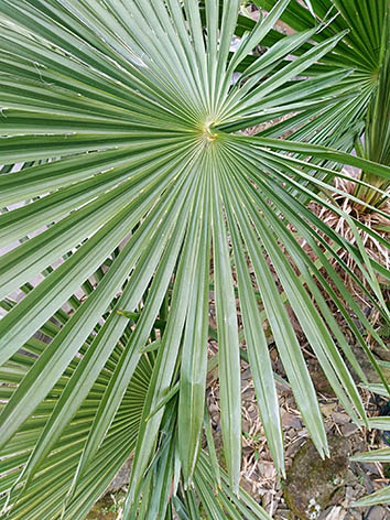 Lil'o bambous - Magnifique palme quasi ronde de Trachycarpus fortunei