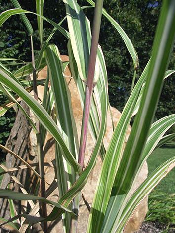 Lil'o bambous - Miscanthus cabaret