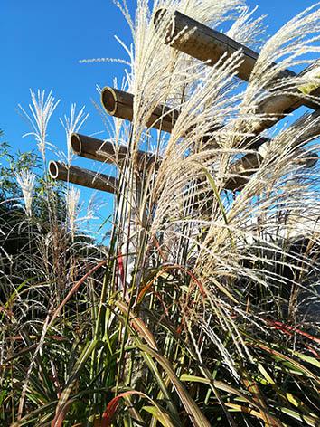 Lil'o bambous - Miscanthus ferner osten - En fin d'été