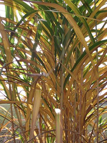 Lil'o bambous - Miscanthus floridulus - En automne