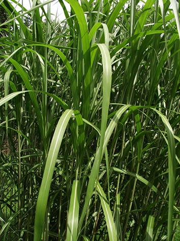 Lil'o bambous - Miscanthus floridulus