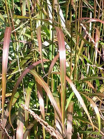 Lil'o bambous - Miscanthus ghana - Le feuillage devient de plus en plus brun durant l'été