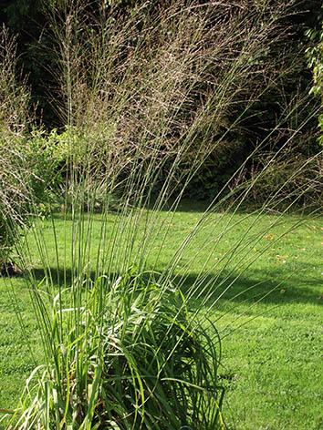 Lil'o bambous - Molinia transparent