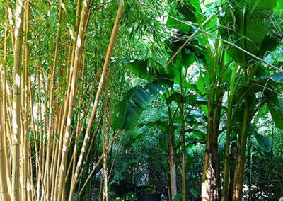 Lil'o bambous - Musa basjoo et phyllostachys vivax aureocaulis
