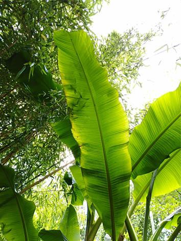 Lil'o bambous - Musa basjoo - feuillage
