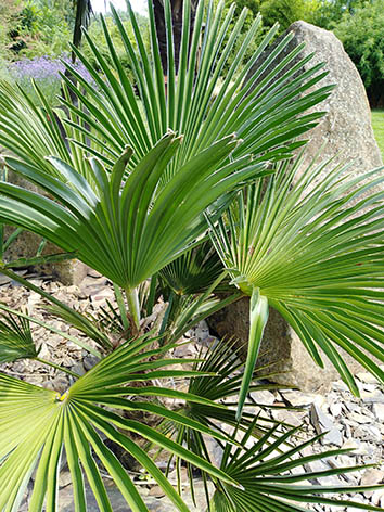 Lil'o bambous - Palmes de Trachycarpus wagnerianus