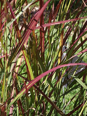 Lil'o bambous - Panicum squaw - détail du feuillage vert à pointe bordeaux