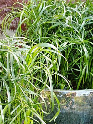 Lil'o bambous - Papyrus en pot