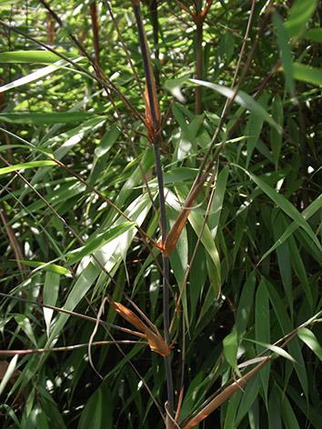 Lil'o bambous - Partie supérieure antracite de jeune canne de Fargesia scabrida avec ses gaines cuivrées
