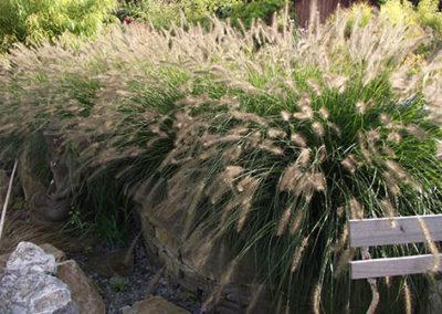 Lil'o bambous - Pennisetum hameln