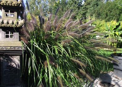 Lil'o bambous - Pennisetum viridescens