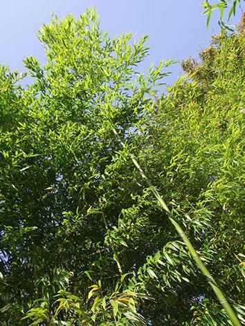Lil'o bambous - Phyllostachys prominens - Cannes de 10 m de haut