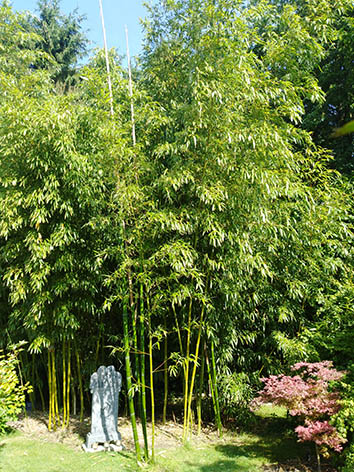 Lil'o bambous - Phyllostachys prominens