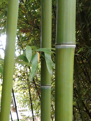 Lil'o bambous - Phyllostachys violascens