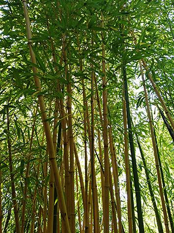 Lil'o bambous - Phyllostachys vivax aureocaulis