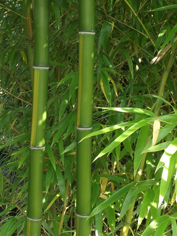 Lil'o bambous - Phyllostachys vivax huangwenzhu