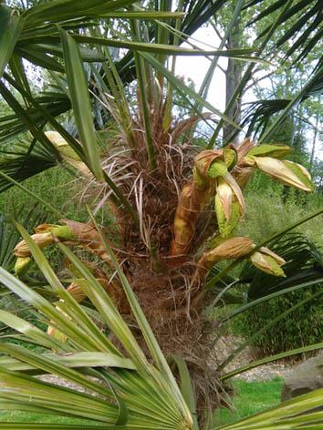 Lil'o bambous - Sortie des inflorescences de Trachycarpus fortunei