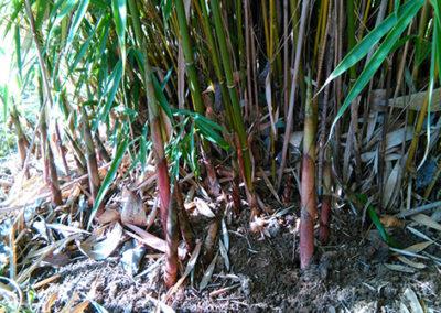 Lil'o bambous - Sortie des turions (jeunes cannes) de Fargesia campbell