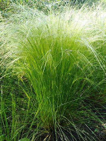 Lil'o bambous - Stipa tenuissima