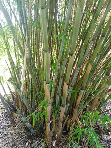 Lil'o bambous - Thamnocalamus crassinodus Kew beauty