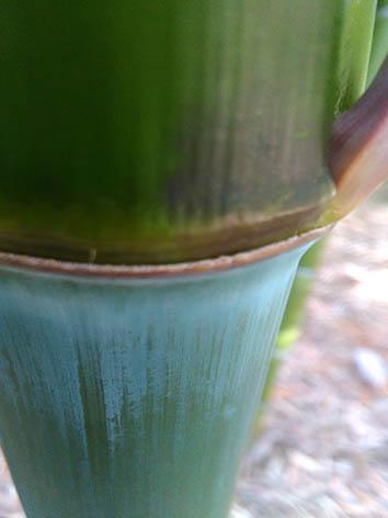Lil'o bambous - Très belle couleur des jeunes cannes de Phyllostachys violascens