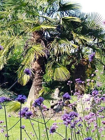 Lil'o bambous - Trachycarpus fortunei dans notre jardin