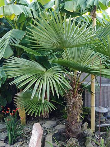 Lil'o bambous - Trachycarpus fortunei et Musa basjoo