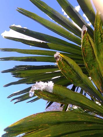 Lil'o bambous - Trachycarpus fortunei sous le gel