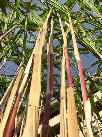 Lil'o bambous - Triarrhena lutarioriparia - Grande graminée assez traçante