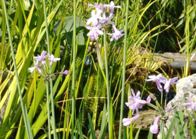 Lil'o bambous - Tubaghia violacea - fleur - pour étang comme en pleine terre
