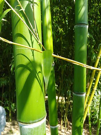 Lil'o bambous - Vert intense des cannes de Phyllostachys prominens