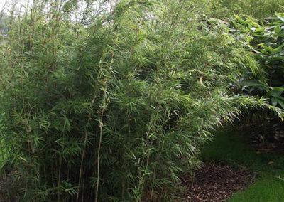 Lil'o bambous - Yushania chungii wolong