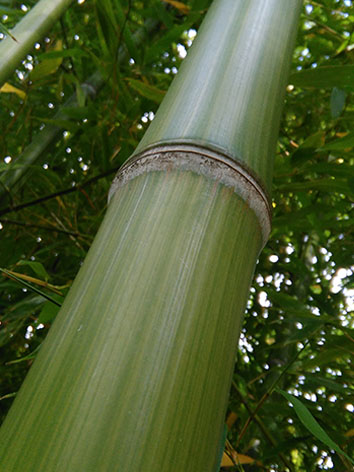 Lil'o bambous - ambiance du jardin - Détail de la canne de Phyllostachys violascens