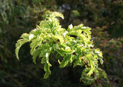 Lil'o bambous - ambiance du jardin - Détail des jeunes feuilles de l'Acer shishigashira
