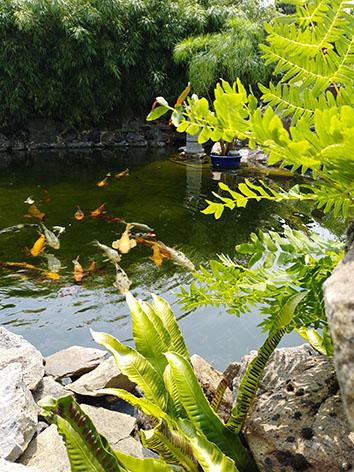 Lil'o bambous - ambiance du jardin - Détail du bassin et fougères