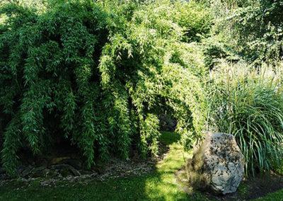 Lil'o bambous - ambiance du jardin - Fargesia denudata lancaster 1