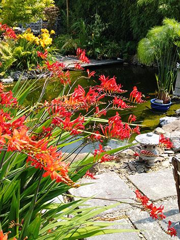 Lil'o bambous - ambiance du jardin - Flamboyantes fleurs rouges du Crocosmia lucifer