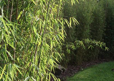 Lil'o bambous - ambiance du jardin - Haie de Fargesia Jiuzhaigou 1