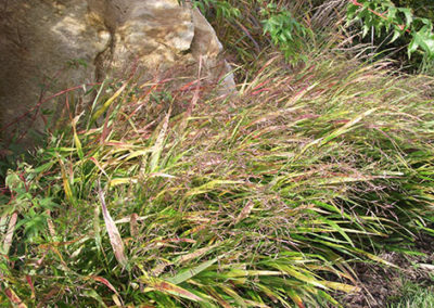 Lil'o bambous - ambiance du jardin - Hakonechloa macra en fleur