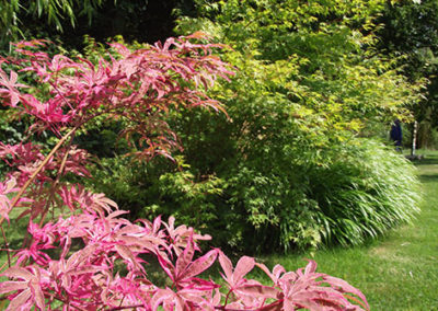 Lil'o bambous - ambiance du jardin - Magnifique feuillage rose et mauve de l'Acer shirazz au printemps