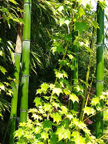 Lil'o bambous - ambiance du jardin - Magnifiques jeune cannes de Phyllostachys prominens