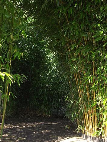 Lil'o bambous - ambiance du jardin - Passage entre Phyllostachys huangwenzhu et phyllostachys aureosulcata aureocaulis