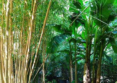 Lil'o bambous - ambiance du jardin - Phyllostachys vivax aureocaulis et Musa basjoo