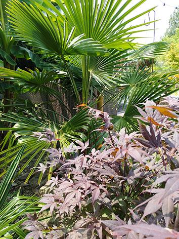 Lil'o bambous - ambiance du jardin - Trachycarpus fortunei et érable japonais