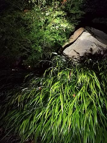 Lil'o bambous - ambiance nocturne - Hakonechloa macra et Acer palmatum