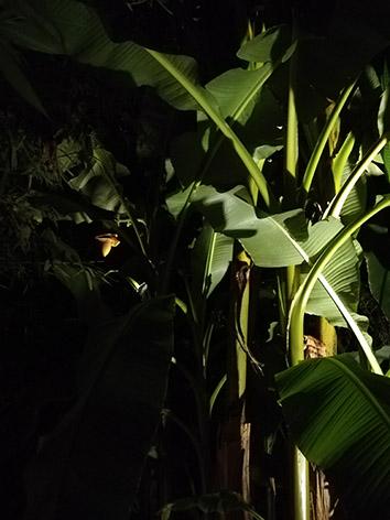 Lil'o bambous - ambiance nocturne - Musa basjoo en fleur