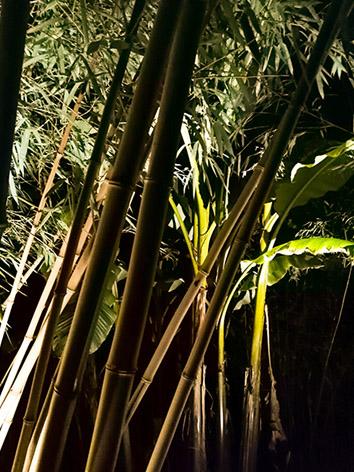 Lil'o bambous - ambiance nocturne - Phyllostachys vivax aureocaulis et Musa basjoo